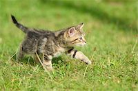 perception - Close-up of a domestic cat (Felis silvestris catus) kitten on a meadow in summer, Upper Palatinate, Bavaria, Germany Stock Photo - Premium Rights-Managednull, Code: 700-07783768