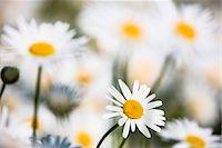 Close-up of Oxeye daisy flowers (Leucanthemum vulgare), Germany Stock Photo - Premium Royalty-Freenull, Code: 600-07783858