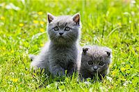Close-up portrait of British Shorthair cats, (British Blue), kittens on green lawn, Germany Stock Photo - Premium Royalty-Freenull, Code: 600-07783862