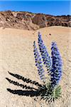 Flowering blue bugloss (Echium auberianum) on pumice field, Teide National Park, Tenerife, Canary Islands