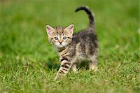 Close-up of Domestic Cat (Felis silvestris catus) Kitten on Meadow in Summer, Bavaria, Germany Stock Photo - Premium Rights-Managednull, Code: 700-07783968