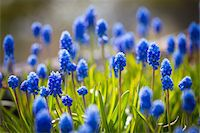Muscari Dark Eyes Flowers, Arctic-Alpine Botanic Garden, Tromso, Norway Stock Photo - Premium Rights-Managednull, Code: 700-07784154