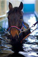 rehabilitation - Horse having hydrotherapy treatment Stock Photo - Premium Royalty-Freenull, Code: 6102-07790141