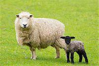 farming (raising livestock) - Sheep ewe and black lamb in Exmoor National Park, Somerset, England, United Kingdom, Europe Stock Photo - Premium Rights-Managednull, Code: 841-07801536
