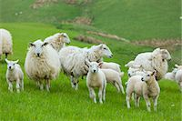 farming (raising livestock) - Flock of sheep ewes and lambs in the Brecon Beacons in Wales, United Kingdom, Europe Stock Photo - Premium Rights-Managednull, Code: 841-07801539