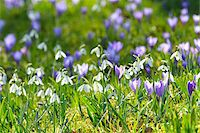 Close-up of crocus and snowdrop in spring, Husum, Schlosspark, Schleswig-Holstein, Germany Stock Photo - Premium Royalty-Freenull, Code: 600-07802682