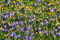 Close-up of crocus and winter aconite (Eranthis) in spring, Husum, Schlosspark, Schleswig-Holstein, Germany Stock Photo - Premium Royalty-Freenull, Code: 600-07802683