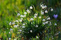 Spring snowflake (leucojum vernum), in spring, Husum, Schlosspark, Schleswig-Holstein, Germany Stock Photo - Premium Royalty-Freenull, Code: 600-07802685