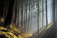 Morning haze in coniferus forest, Harz, Lower Saxony, Germany Stock Photo - Premium Royalty-Freenull, Code: 600-07802693