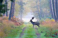fog (weather) - Male Fallow Deer (Cervus dama) on Dirt Road in Autumn, Hesse, Germany Stock Photo - Premium Royalty-Freenull, Code: 600-07802844