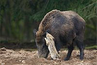Wild Boars (Sus scrofa), Mother with Young, Germany Stock Photo - Premium Royalty-Freenull, Code: 600-07803054