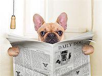 fawn french bulldog dog sitting on toilet and reading magazine Stock Photo - Royalty-Freenull, Code: 400-07836753