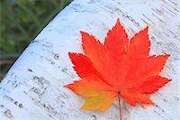 Autumn leaf Stock Photo - Premium Royalty-Freenull, Code: 622-07841325