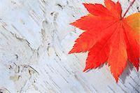 Autumn leaf Stock Photo - Premium Royalty-Freenull, Code: 622-07841326