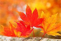 Autumn leaves Stock Photo - Premium Royalty-Freenull, Code: 622-07841338