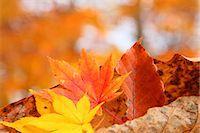 Autumn leaves Stock Photo - Premium Royalty-Freenull, Code: 622-07841339