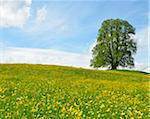 Lime Tree in blooming Meadow, Spring, Upper Bavaria, Bavaria, Germany