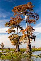 Swamp Cypress Trees (Taxodium distichum) in Autum Colors, Atchafalaya Basin, Louisiana, USA Stock Photo - Premium Royalty-Freenull, Code: 600-07844473