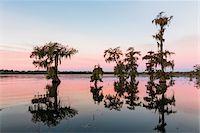 Swamp Cypress Trees (Taxodium distichum) in Autumn at Dawn, Lake Martin, Louisiana, USA Stock Photo - Premium Royalty-Freenull, Code: 600-07844477