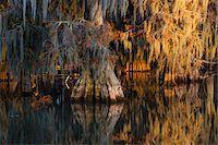 Swamp Cypress Trees (Taxodium distichum) in Autumn at Sunrise, Lake Martin, Louisiana, USA Stock Photo - Premium Royalty-Freenull, Code: 600-07844480