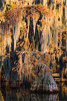 Swamp Cypress Trees (Taxodium distichum) in Autumn at Sunrise, Lake Martin, Louisiana, USA Stock Photo - Premium Royalty-Freenull, Code: 600-07844481