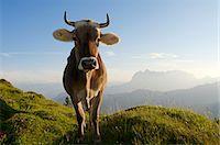 farming (raising livestock) - Cows, Reit im Winkl, Bavaria, Germany Stock Photo - Premium Rights-Managednull, Code: 862-07909772