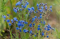 Forget-me-not in the Black Forest, Germany Stock Photo - Premium Royalty-Freenull, Code: 600-07911243