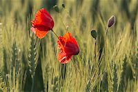 Red poppy in the Black Forest, Germany Stock Photo - Premium Royalty-Freenull, Code: 600-07911244