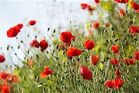 Red poppy in the Black Forest, Germany Stock Photo - Premium Royalty-Freenull, Code: 600-07911250