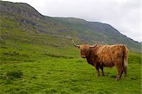 Highland cow, Kirkstone Pass, Lake District National Park, Cumbria, England, United Kingdom, Europe Stock Photo - Premium Rights-Managednull, Code: 841-07913953
