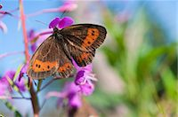 Scotch Argus Butterfly perching on fireweed Stock Photo - Premium Royalty-Freenull, Code: 6121-07914044