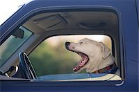 Close-up of dog yawning while inside a truck, USA Stock Photo - Premium Royalty-Freenull, Code: 600-07945077