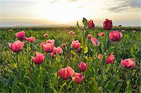 Close-up of Opium Poppy Field (Papaver somniferum) at Sunrise, Summer, Germerode, Hoher Meissner, Werra Meissner District, Hesse, Germany Stock Photo - Premium Royalty-Freenull, Code: 600-07945150