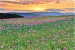 Opium Poppy Field (Papaver somniferum) at Sunrise, Summer, Germerode, Hoher Meissner, Werra Meissner District, Hesse, Germany