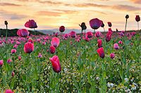 Close-up of Opium Poppy Field (Papaver somniferum) at Sunrise, Summer, Germerode, Hoher Meissner, Werra Meissner District, Hesse, Germany Stock Photo - Premium Royalty-Freenull, Code: 600-07945158