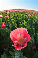 Close-up of Opium Poppy (Papaver somniferum) in field with morning sunlight, Summer, Germerode, Hoher Meissner, Werra Meissner District, Hesse, Germany Stock Photo - Premium Royalty-Freenull, Code: 600-07945162