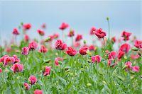Close-up of Opium Poppy Field (Papaver somniferum) Summer, Germerode, Hoher Meissner, Werra Meissner District, Hesse, Germany Stock Photo - Premium Royalty-Freenull, Code: 600-07945170