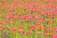 Opium Poppy Field (Papaver somniferum) Summer, Germerode, Hoher Meissner, Werra Meissner District, Hesse, Germany Stock Photo - Premium Royalty-Freenull, Code: 600-07945174