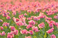 Close-up of Opium Poppy Field (Papaver somniferum) Summer, Germerode, Hoher Meissner, Werra Meissner District, Hesse, Germany Stock Photo - Premium Royalty-Freenull, Code: 600-07945179