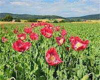 Close-up of Opium Poppies (Papaver somniferum) in Field, Summer, Germerode, Hoher Meissner, Werra Meissner District, Hesse, Germany Stock Photo - Premium Royalty-Freenull, Code: 600-07945181
