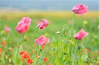 Close-up of Opium Poppies (Papaver somniferum) and Corn Poppies (Papaver rhoea) Summer, Germerode, Hoher Meissner, Werra Meissner District, Hesse, Germany Stock Photo - Premium Royalty-Freenull, Code: 600-07945182