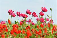 Close-up of Opium Poppies (Papaver somniferum) and Corn Poppies (Papaver rhoeas) in Field, Summer, Germerode, Hoher Meissner, Werra Meissner District, Hesse, Germany Stock Photo - Premium Royalty-Freenull, Code: 600-07945189