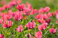 Close-up of Opium Poppies (Papaver somniferum) in field, Summer, Germerode, Hoher Meissner, Werra Meissner District, Hesse, Germany Stock Photo - Premium Royalty-Freenull, Code: 600-07945192