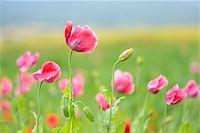Close-up of Opium Poppies (Papaver somniferum) in field, Summer, Germerode, Hoher Meissner, Werra Meissner District, Hesse, Germany Stock Photo - Premium Royalty-Freenull, Code: 600-07945194