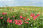 Opium Poppies (Papaver somniferum) and Chamomile (Matricaria chamomilla) in field, Summer, Germerode, Hoher Meissner, Werra Meissner District, Hesse, Germany