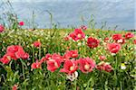 Close-up of Opium Poppies (Papaver somniferum) and Chamomile (Matricaria chamomilla) in field, Summer, Germerode, Hoher Meissner, Werra Meissner District, Hesse, Germany