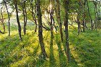 Birch Forest in the Dunes with Sun, Summer, Norderney, East Frisia Island, North Sea, Lower Saxony, Germany Stock Photo - Premium Royalty-Freenull, Code: 600-07945361