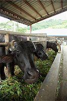 farming (raising livestock) - Buffaloes Stock Photo - Premium Rights-Managednull, Code: 859-07961771