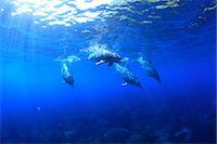 fantastically - Dolphins swimming underwater Stock Photo - Premium Rights-Managednull, Code: 859-07961772