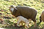 Close-up of a house-sheep (Ovis orientalis aries) mother with her lamb on a meadow in spring, Bavaria, Germany